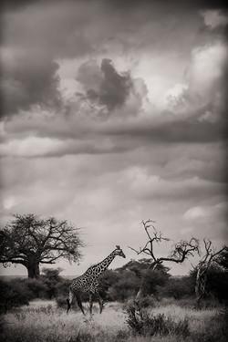 giraffesepia