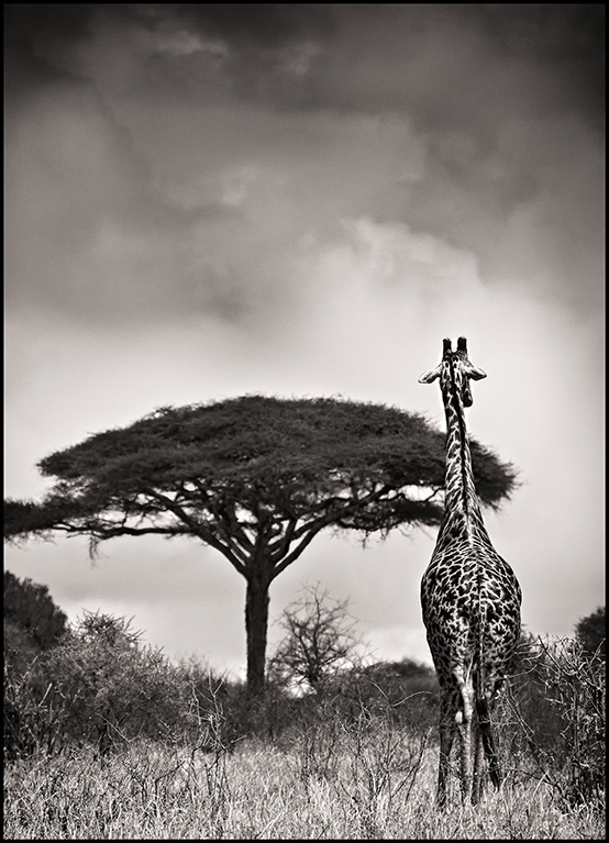 giraffegazebw