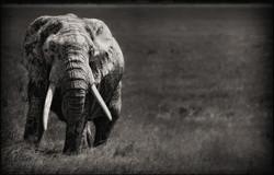 oldelephant