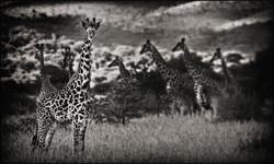 giraffegroup
