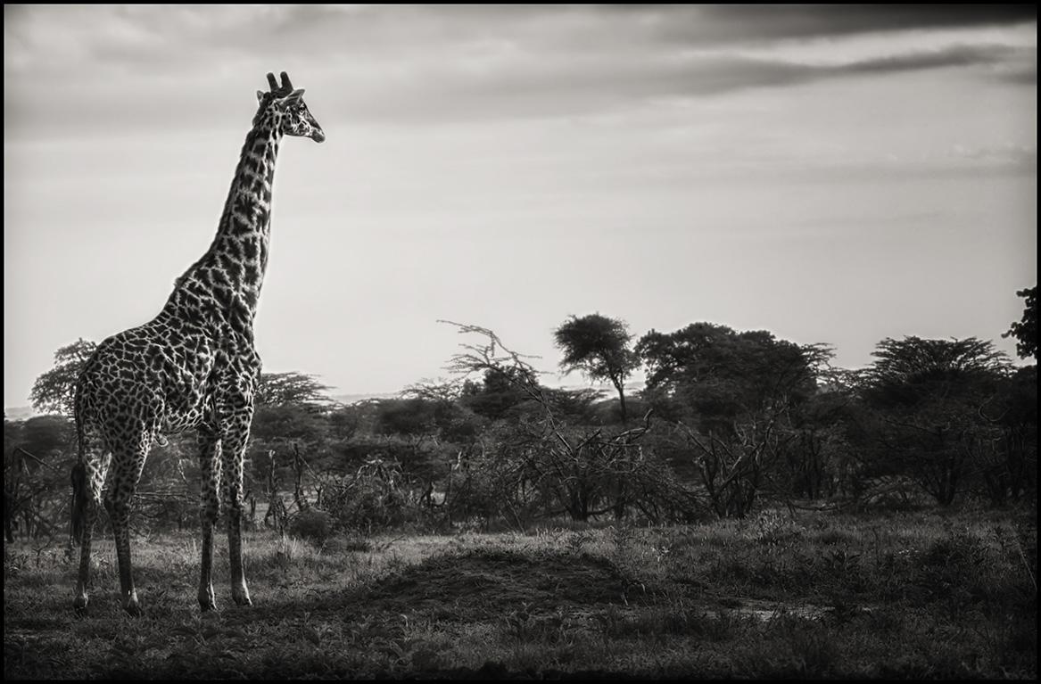 giraffesunrise