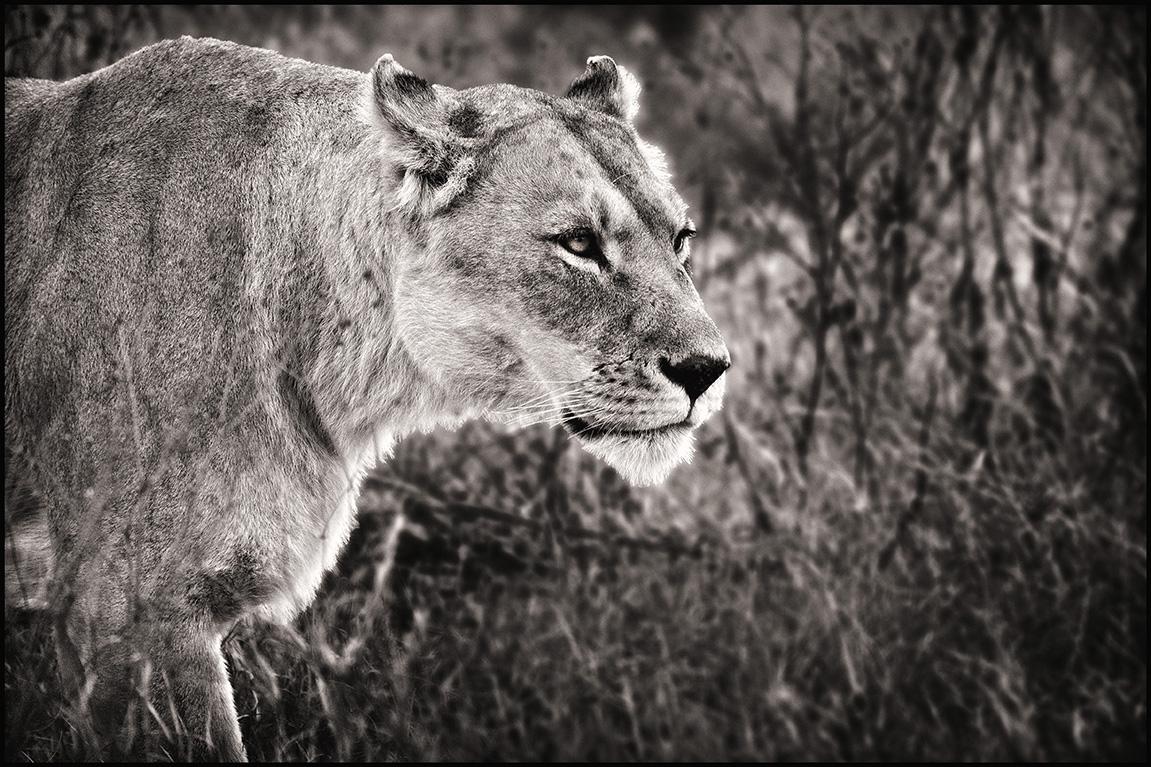 lionessstalk