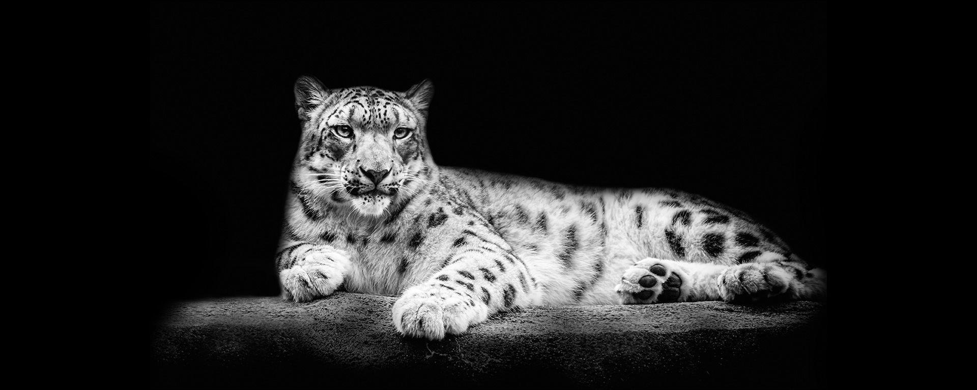 tilteslide_snowleopard