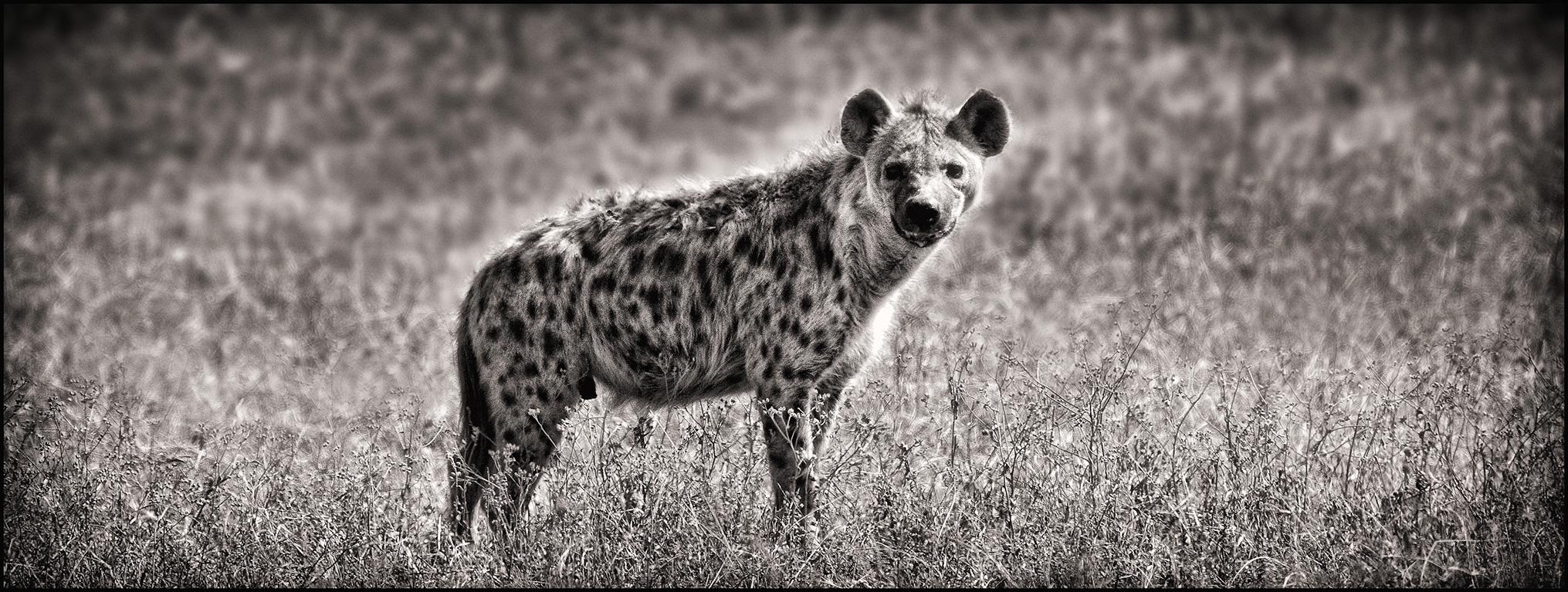 hyenapano