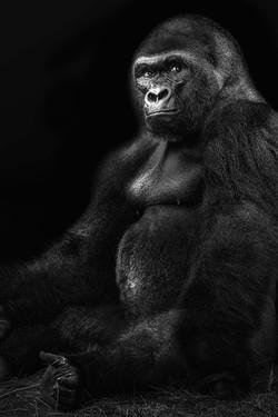 gorillasit