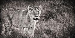 lionyouth