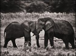 elephanthugbw