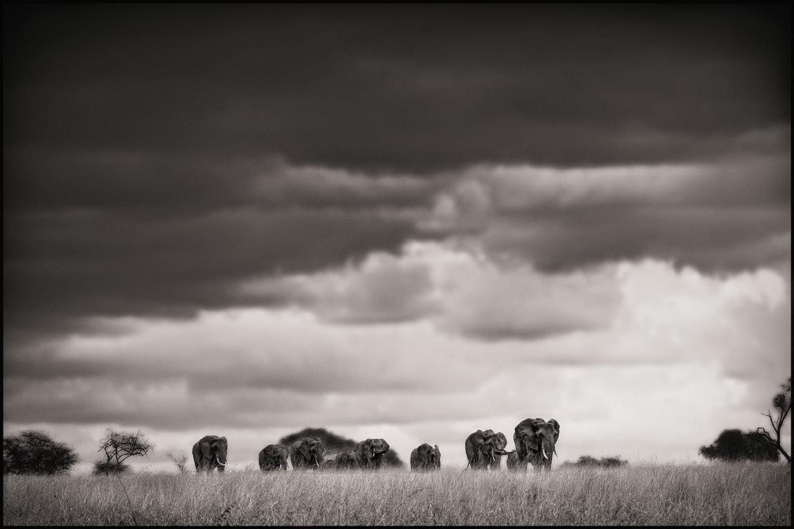 elephantlinebw