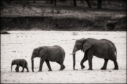 elephantline