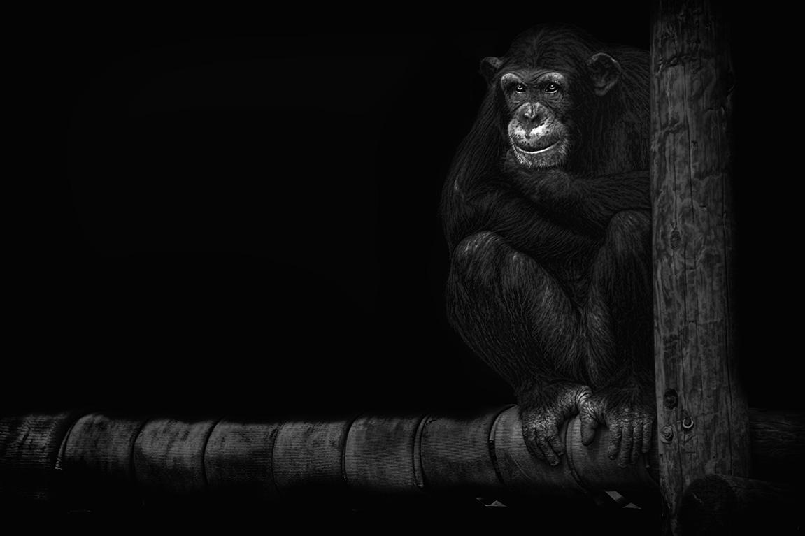 chimpsitting