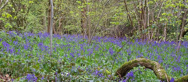 Bluebell_Wood 1.jpg