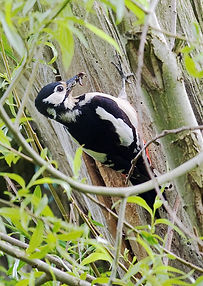 great spotted woodpecker at nest 4 (2).j