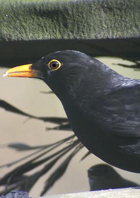 blackbird_16.jpg