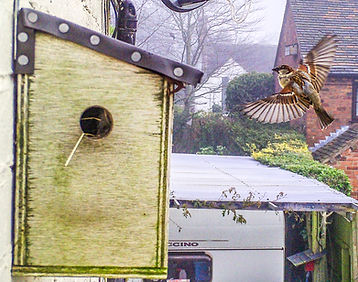 House Sparrow Nest Building (3).jpg