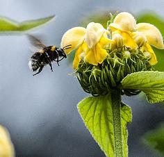 Bee on Phlomis 2-1.jpg