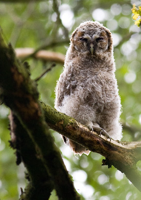 Tawny Owl Chick 5 in Woods-1_2012.jpg