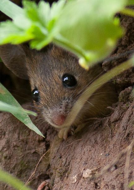 wood mouse.jpg
