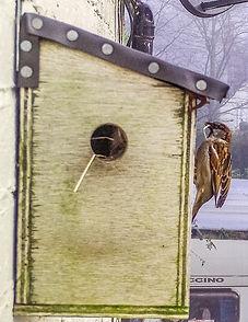 House Sparrow Nest Building (5).jpg
