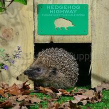 hedgehog highway badge.jpg