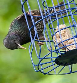Starling Adult on feeder-1.jpg