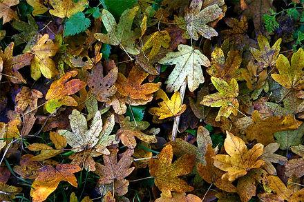leaves_field_maple_1.jpg