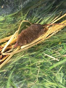 pygmy shrew.JPG