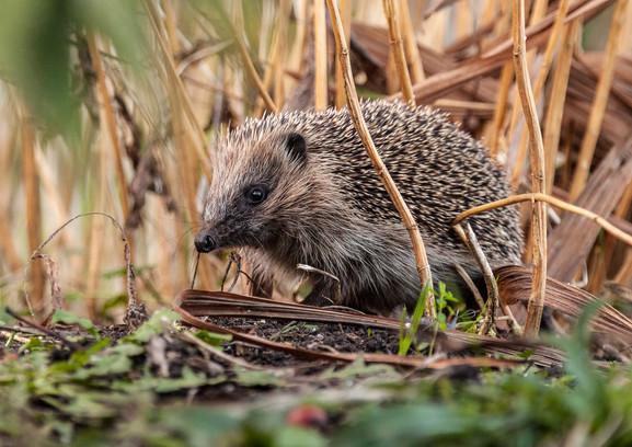 hedgehog-3_2015.jpg