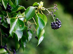 ivy with berries.jpg