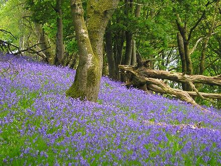 Wood_with_bluebells.jpg