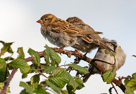 house sparrows and blackberries.jpg
