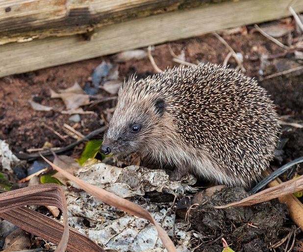 hedgehog-6_2015.jpg