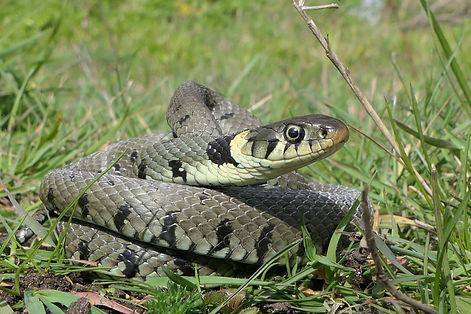 grass snake coiled.jpg