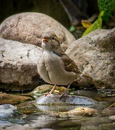 House Sparrow (1 of 30).jpg