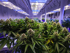 cannabis_Grow_rooms.jpg