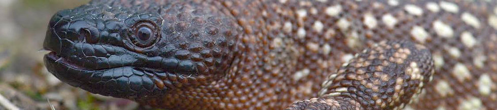 Beaded lizard - Heloderma horridum