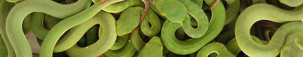Vipère des bambous - Trimeresurus (Cryptelytrops) albolabris