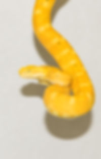 Botriechis schlegeli