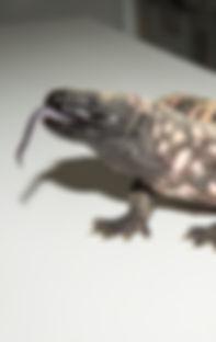 Heloderma suspectum - Gila monster