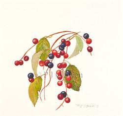PrunusVirginiana.jpg