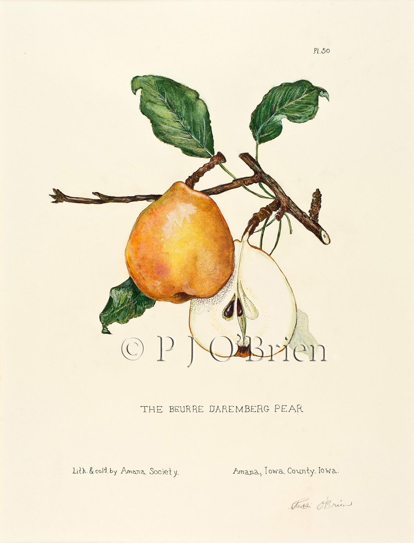 Classic Daremberg Pear.jpg