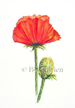 Tim's Oriental Poppy.jpg