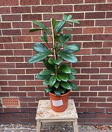 Ficus Cyathistipula African Fig