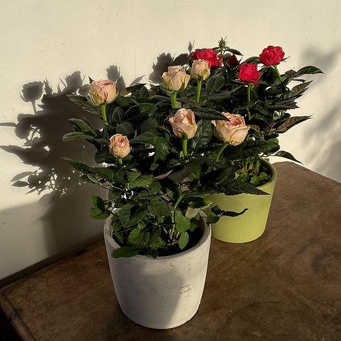 Rose and Pot
