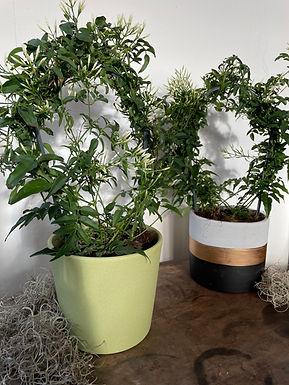 Jasmine and pot