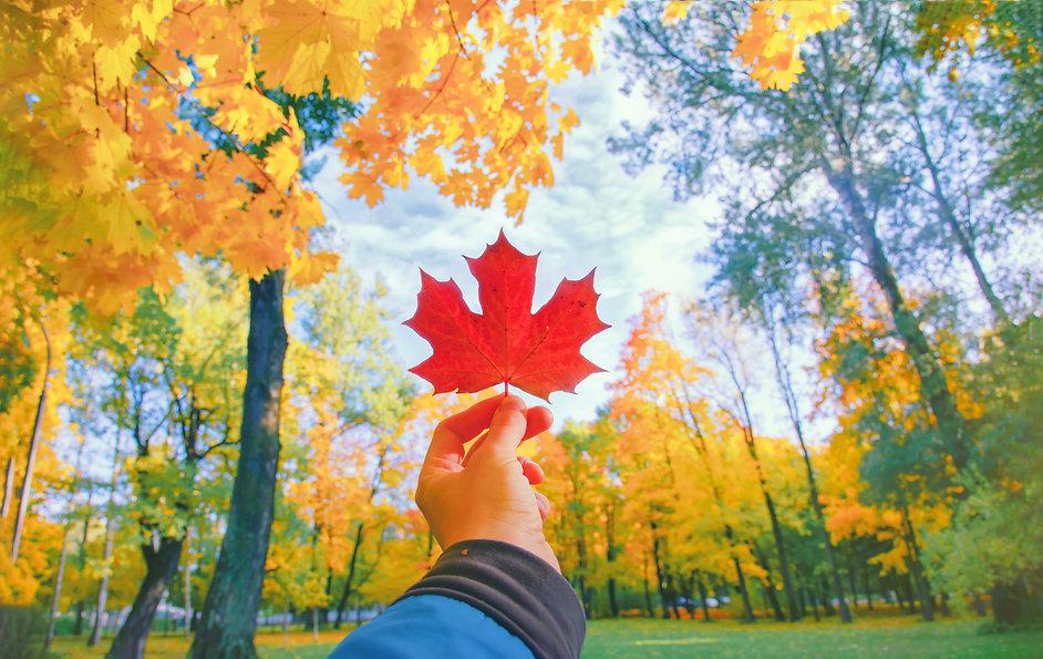 Hand holding red autumn leaf closeup. Ma