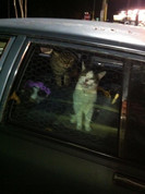 3 homeless cats living in a car