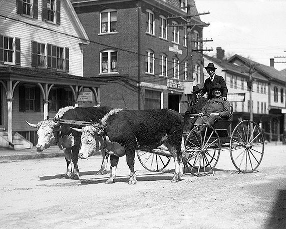 James Bickford with carriage and oxen downtown.jpg