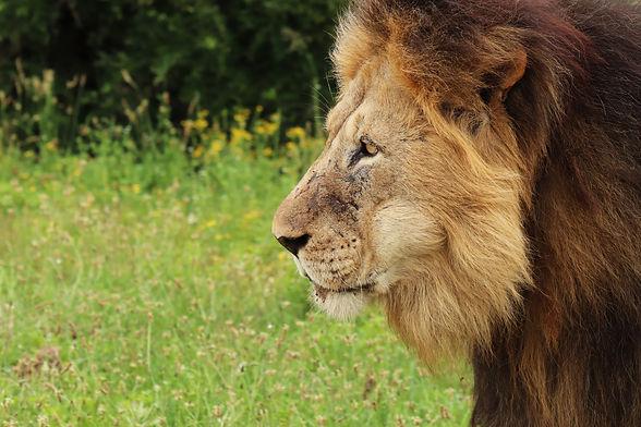 furry-lion-walking-in-the-addo-elephant-