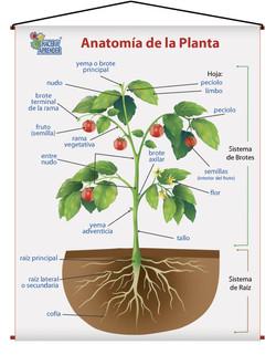 1707 ANATOMIA DE LA PLANTA