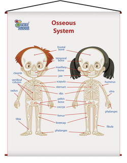 1742 OSSEOUS SYSTEM KIDS